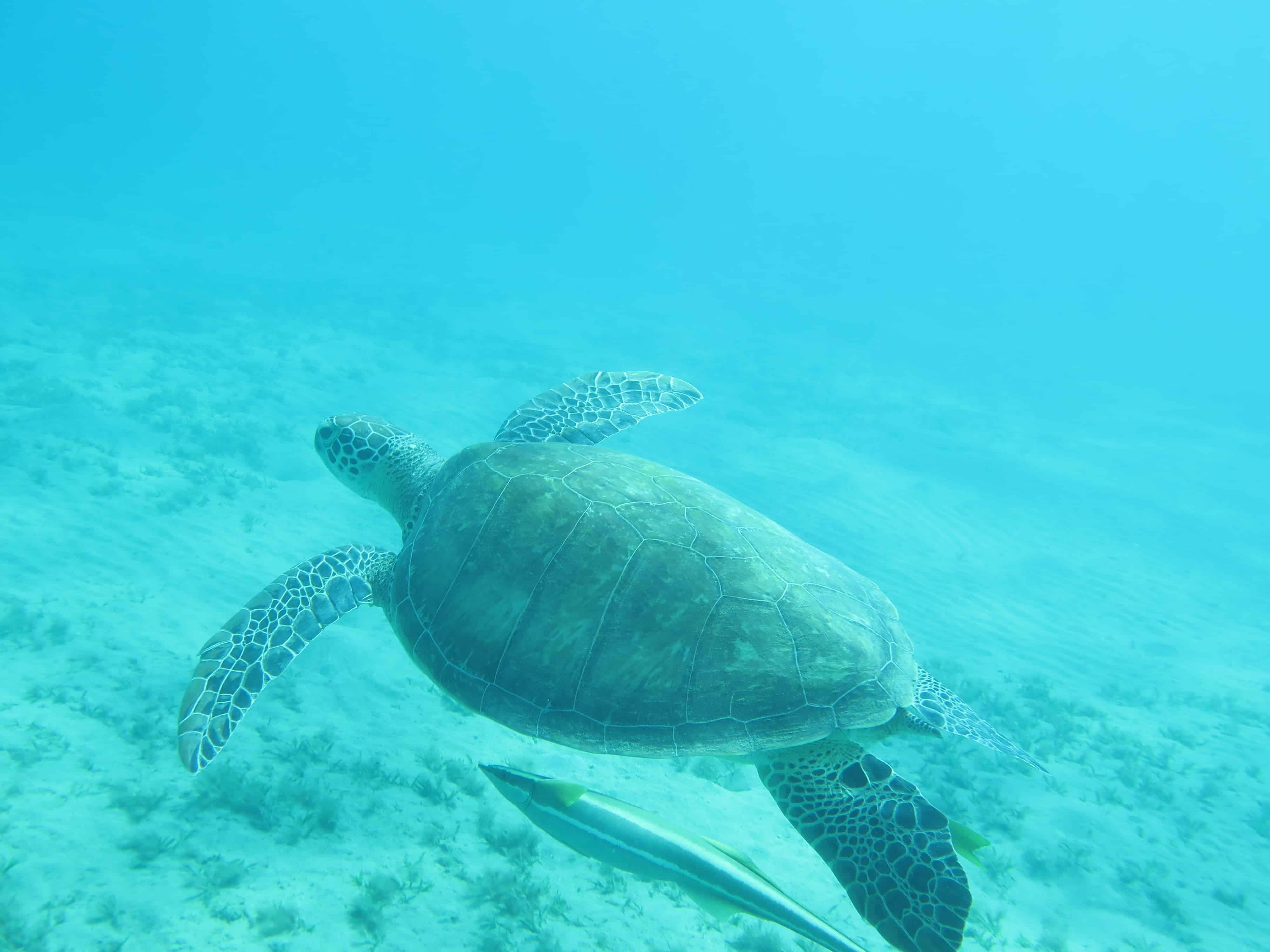 Schildkröten Ausflug Abu Dabbab Schnorcheltour